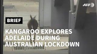 Kangaroo explores Adelaide during Australian lockdown