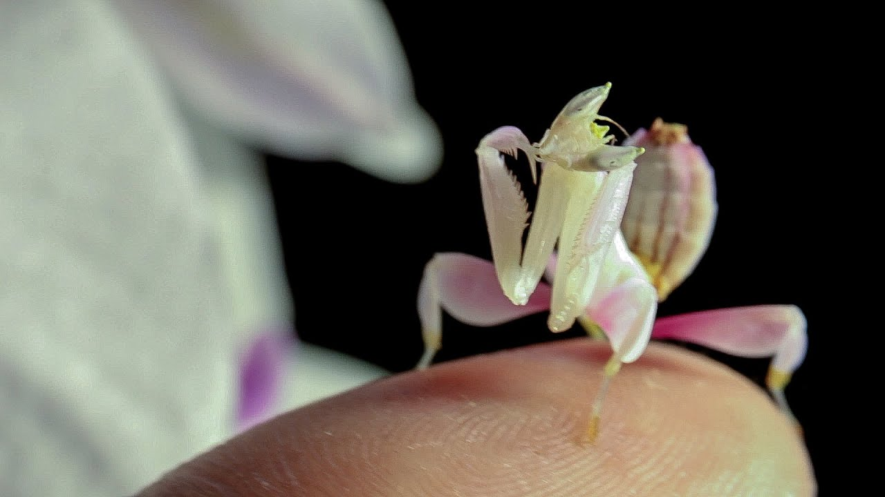 Pink Orchid Praying Mantis Sitting In The Pink Orchid H Coronatus