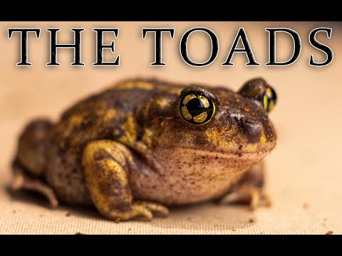 Toadally Wicked Spadefoot Toads| Cute Faces, Shovel Feet, The COOLEST Amphibian In The World!