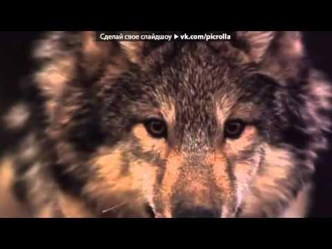 Обои с волками под музыку КОШКА САШКА   СТАЯХОРОШАЯ ПЕСНЯ ПРО ВОЛКОВ  Picrolla