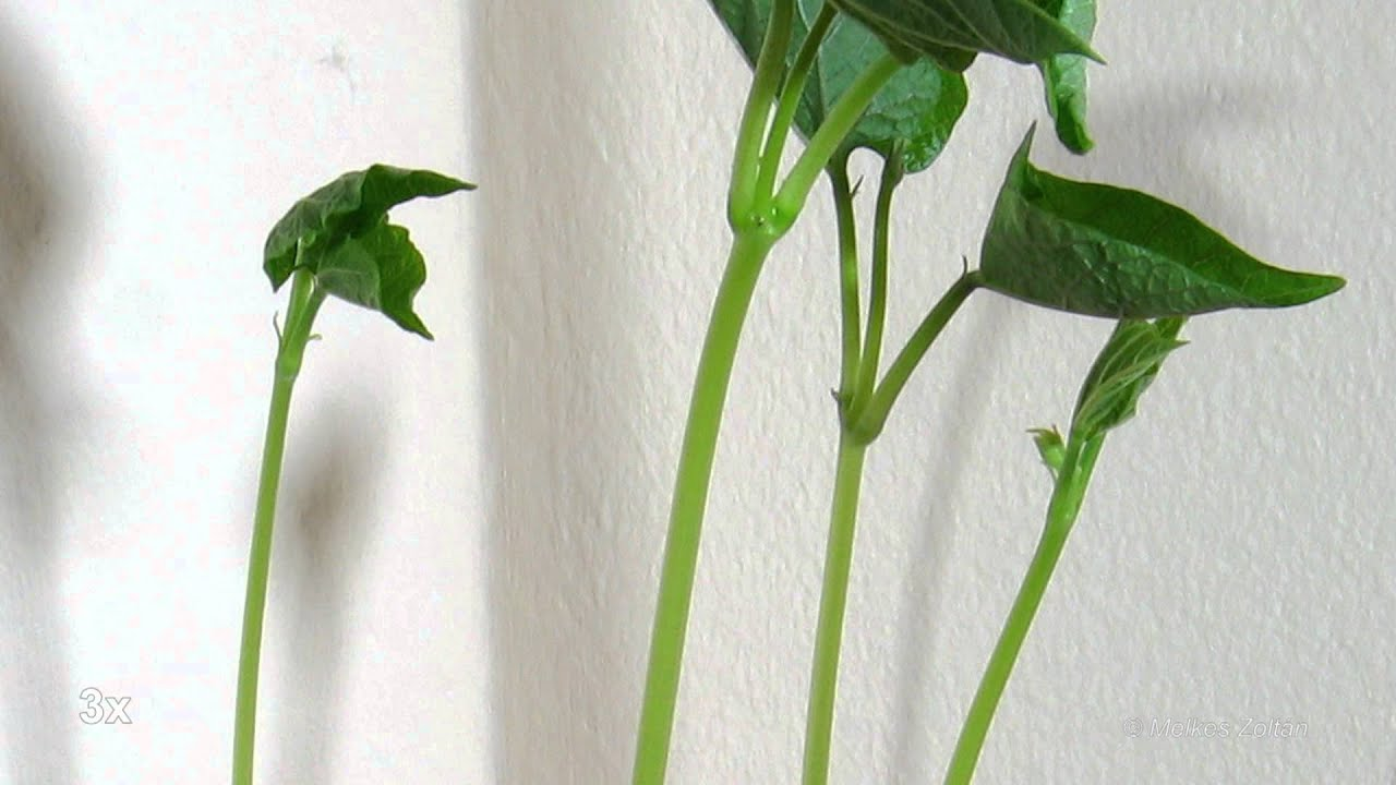 climbing bean growing timelapse in HD | Doovi