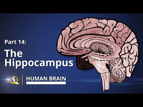 Hippocampus - Human Brain Series - Part 14