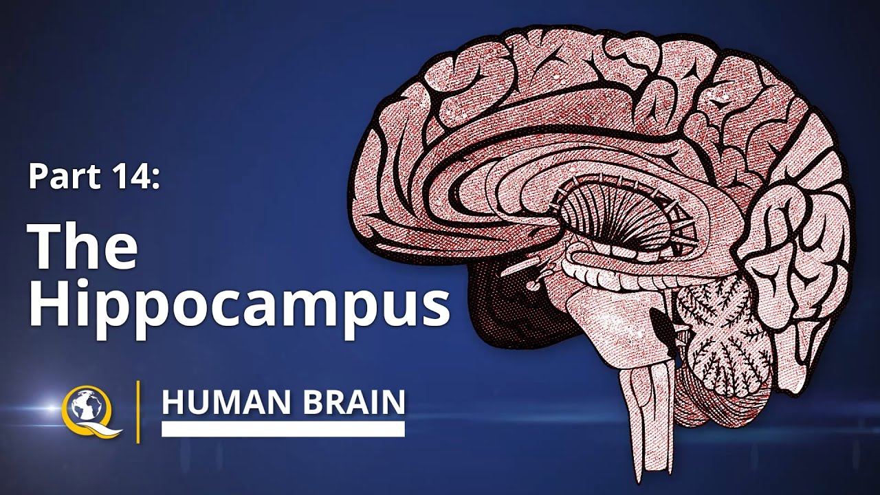 Hippocampus human brain series part 14 youtube ccuart Choice Image
