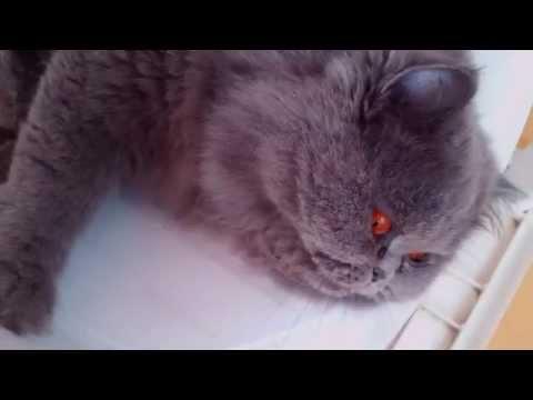 Ugo, persian cat with red eyes. Ugo, il gatto persiano dagli occhi rossi.