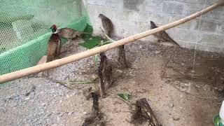 Nguyên nhân chim trĩ không đẻ trứng | Cách nuôi cнim trĩ / NKNN