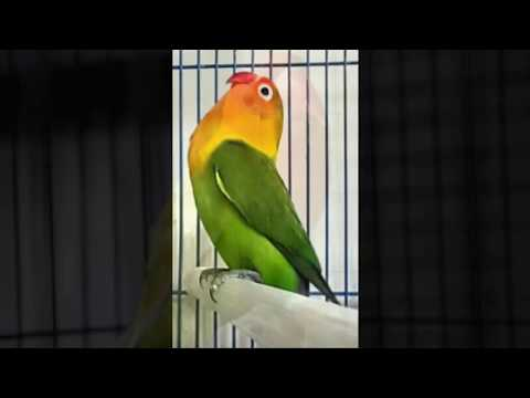 Suara Lovebird Ngetik Panjang MP3