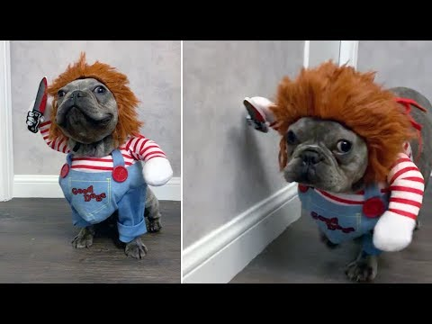 French Bulldog Puppy Dressed As Chucky