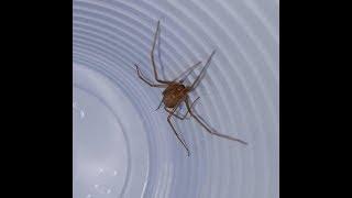 Come catturare un Ragno violino - How to catch a Violin Spider