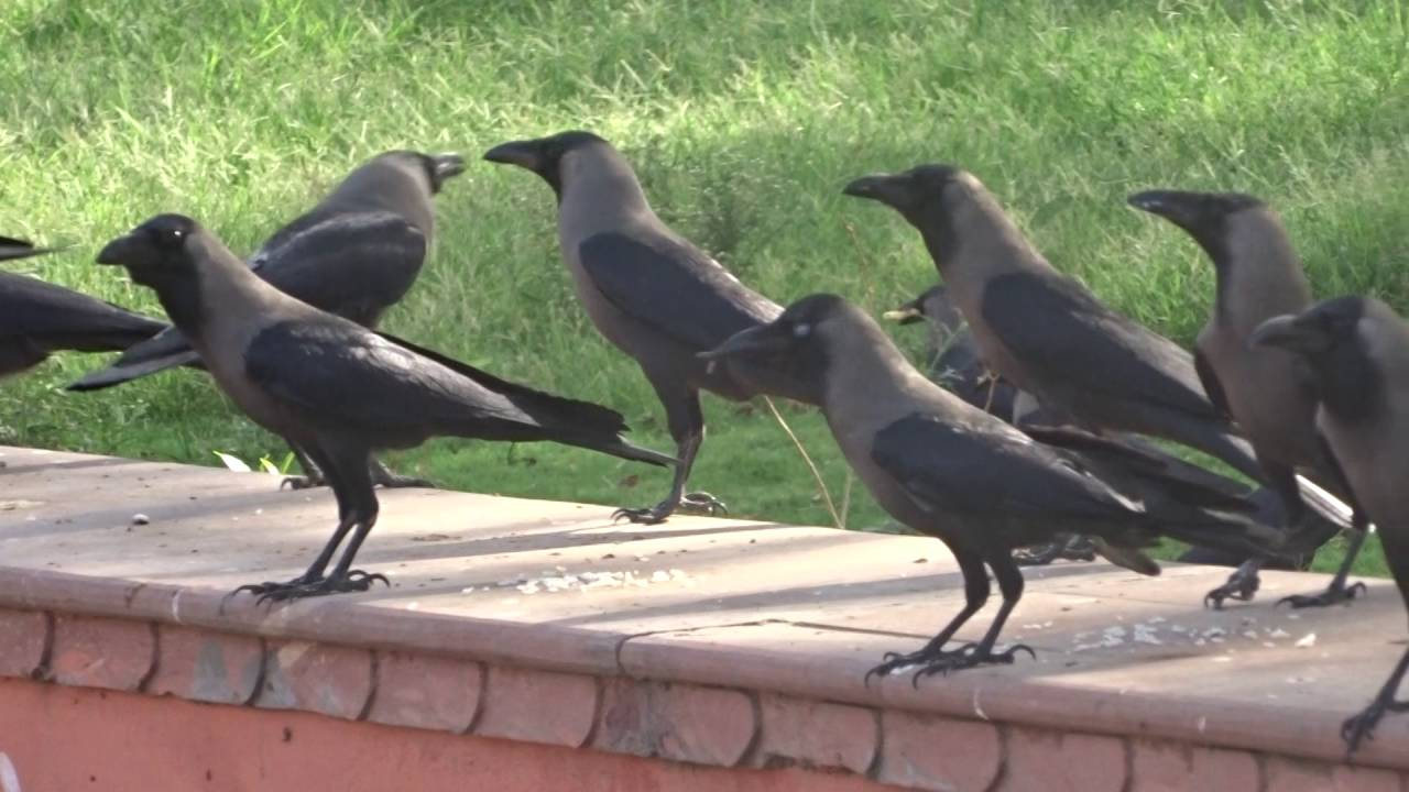 Vegetarian Crow(Raven) Feeding In Jaipur India. - YouTube