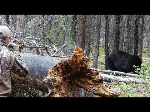 Bear Killed With Blowgun