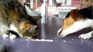 Кошка против собаки / Cat vs Dog