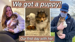 the first 24 hours with our SHELTIE puppy! | We got a puppy VLOG | shetland sheepdog puppy