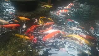 Little Fish Lake Little Hundred Fish Koi, Beautiful Fish, Ca Cua