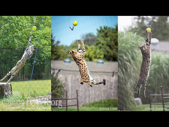 Servals Are Not Meant to be Pets: Tiger Tuesday at Turpentine Creek Wildlife Refuge