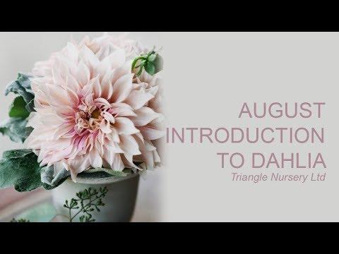 Introduction To Wholesale Cut Dahlias - Wholesale Flowers Direct