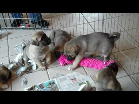Roz & Ryder's 6 week old Anatolian Shepherd Puppies.mp4