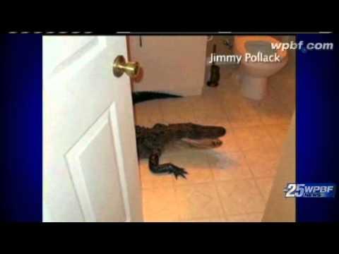 Gator Crawls Into Home Through Doggie Door