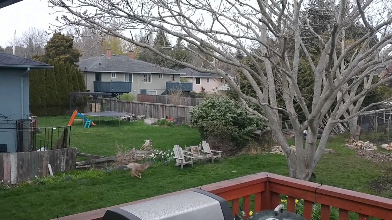 a couple of young deer chasing each other in our backyard youtube