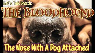 Dog Video 2021: The Bloodhound Dog