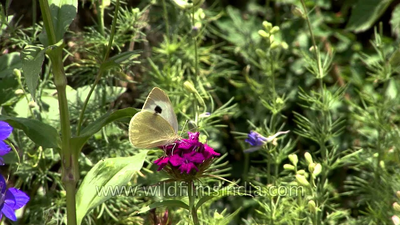 Sweet William And Larkspur Flowers With Cabbage White Butterfly