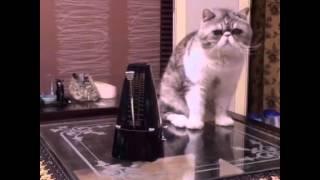 Ngộ Nghĩnh Mèo Exotic Giật Mình Vì Tiếng Đồng Hồ