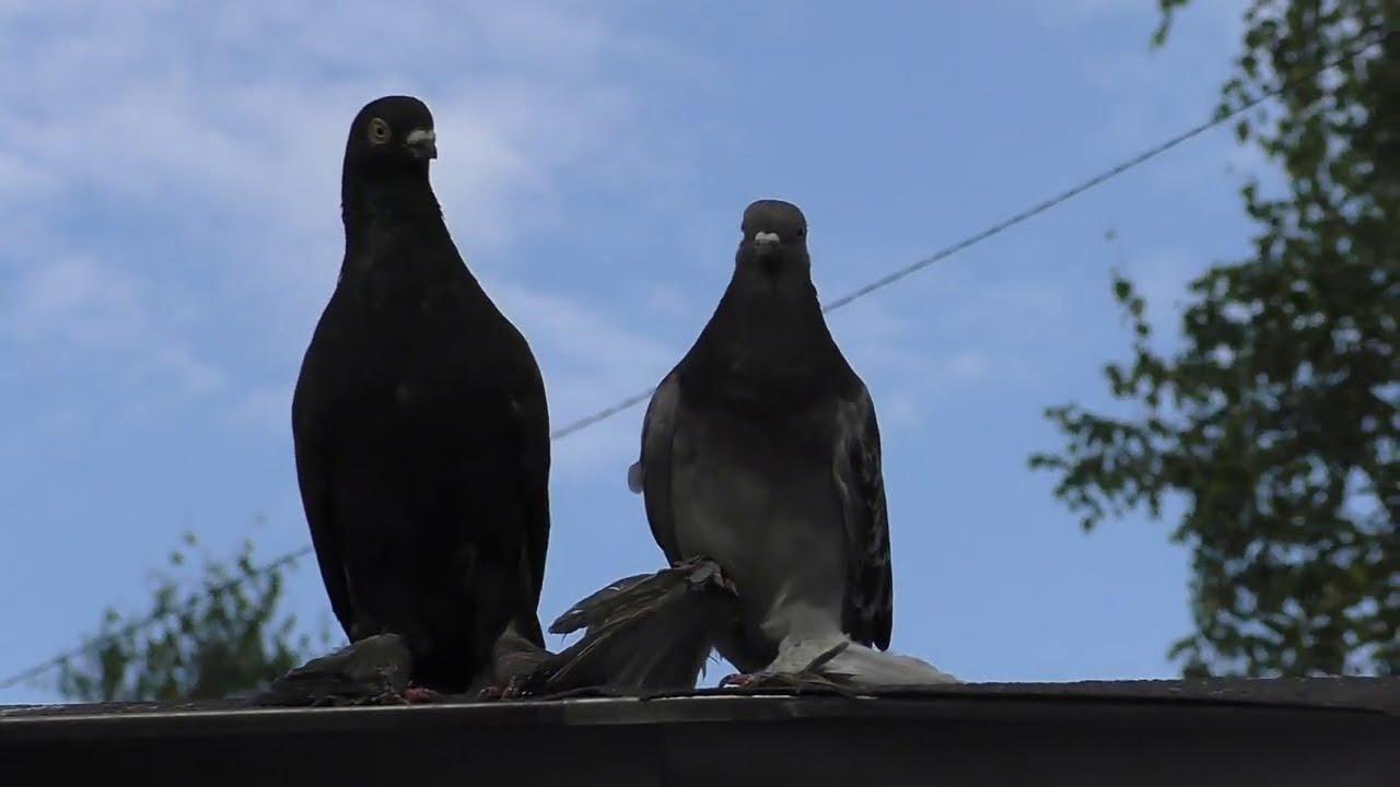 Отдаю голубей , бакинские чили и пара азиатских  гладких.