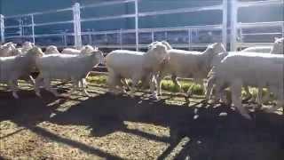 Nanena - 234 1st X White Suffolk ewe lambs