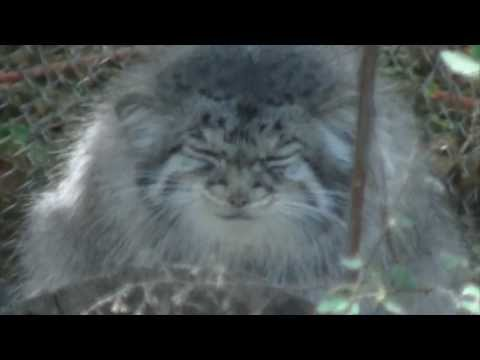 Pallas Cat Making Funny Faces