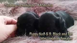 Dachshund Puppys Black & Tan Mini Longhairs Females From Western Sydney, Australia
