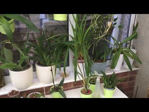 General Orchid And Water Chat And Dendrophylax Lindenii   IN ENGLISH