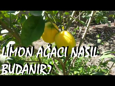 Limon ağacı ve mandalina ağacı nasıl budanır?