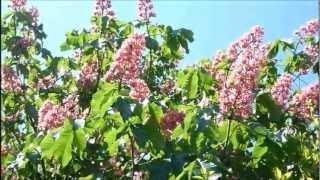 マロニエの花咲く頃 2012