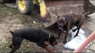 Real Fighting Dogs Vidmoon