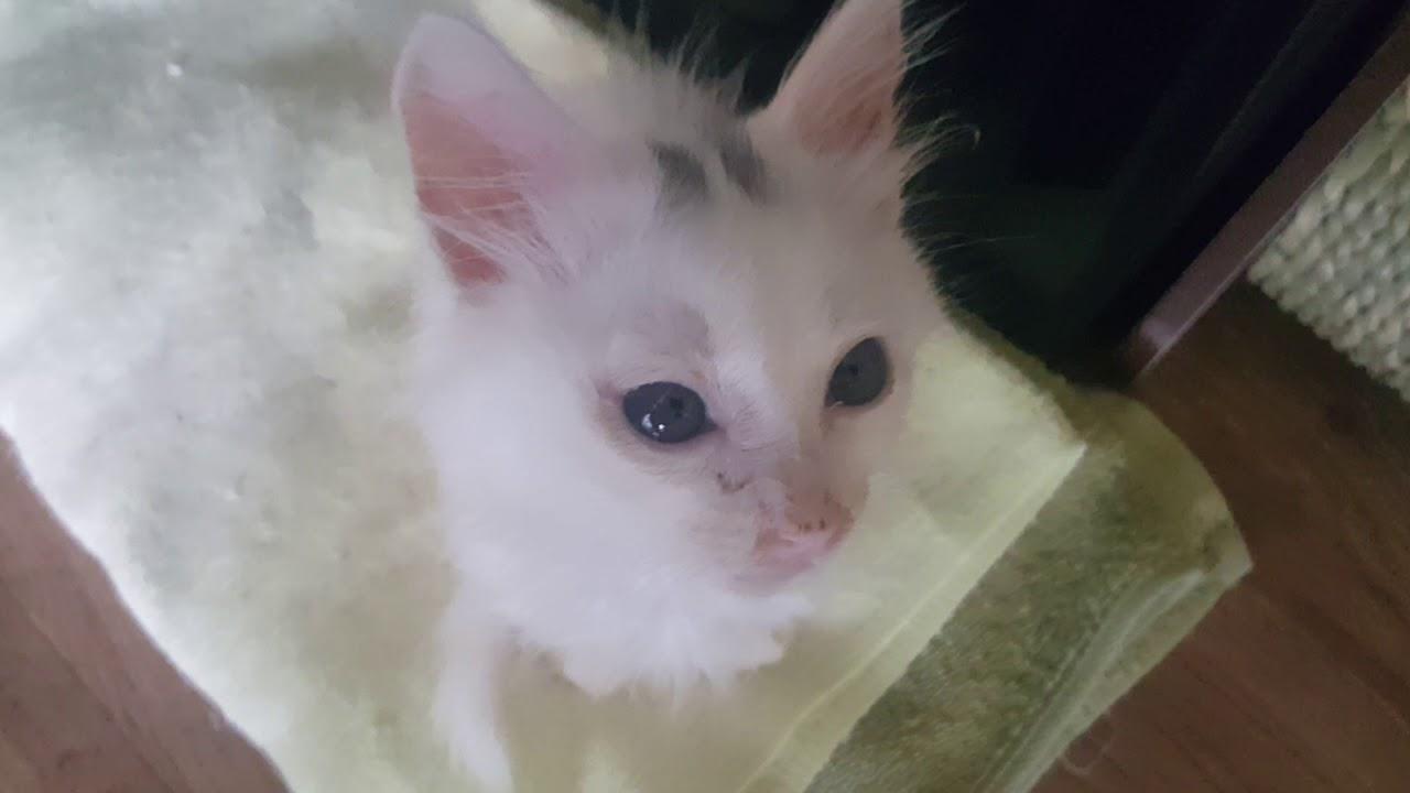 Turkish Angora Cat Kitten Short Hair D 48 9 Youtube