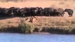 Шок!! Битва Львов Против Крокодила и Быков!!! Удивительное видео! Смотреть всем!!!(Это видео создано с помощью видеоредактора YouTube (http://www.youtube.com/editor), 2015-06-23T21:23:21.000Z)