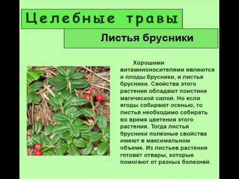 Листья брусники – готовим целебные напитки