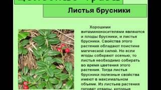 видео Листья брусники. Лечебные свойства и применение