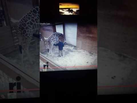 april the giraffe vet visit... poor vet