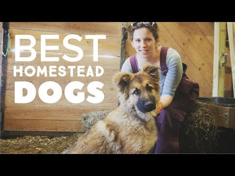 THE BEST HOMESTEAD DOGS