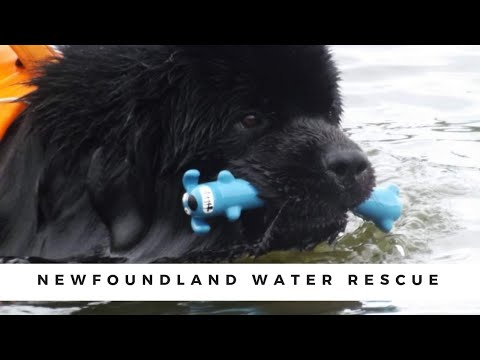 Super swimmer Newfoundland dog pulling a boat , water rescue , #dog #animal #waterrescue #swimming