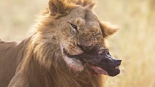 Baboons Dying In a Lion Jaw