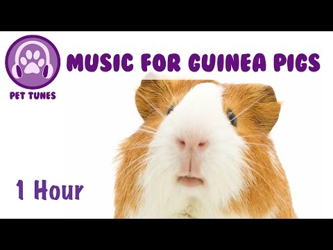Music for Guinea Pigs, Calm Your Guinea Pig, How To Make Guinea Pigs Sleep, How to Calm Down Guineas