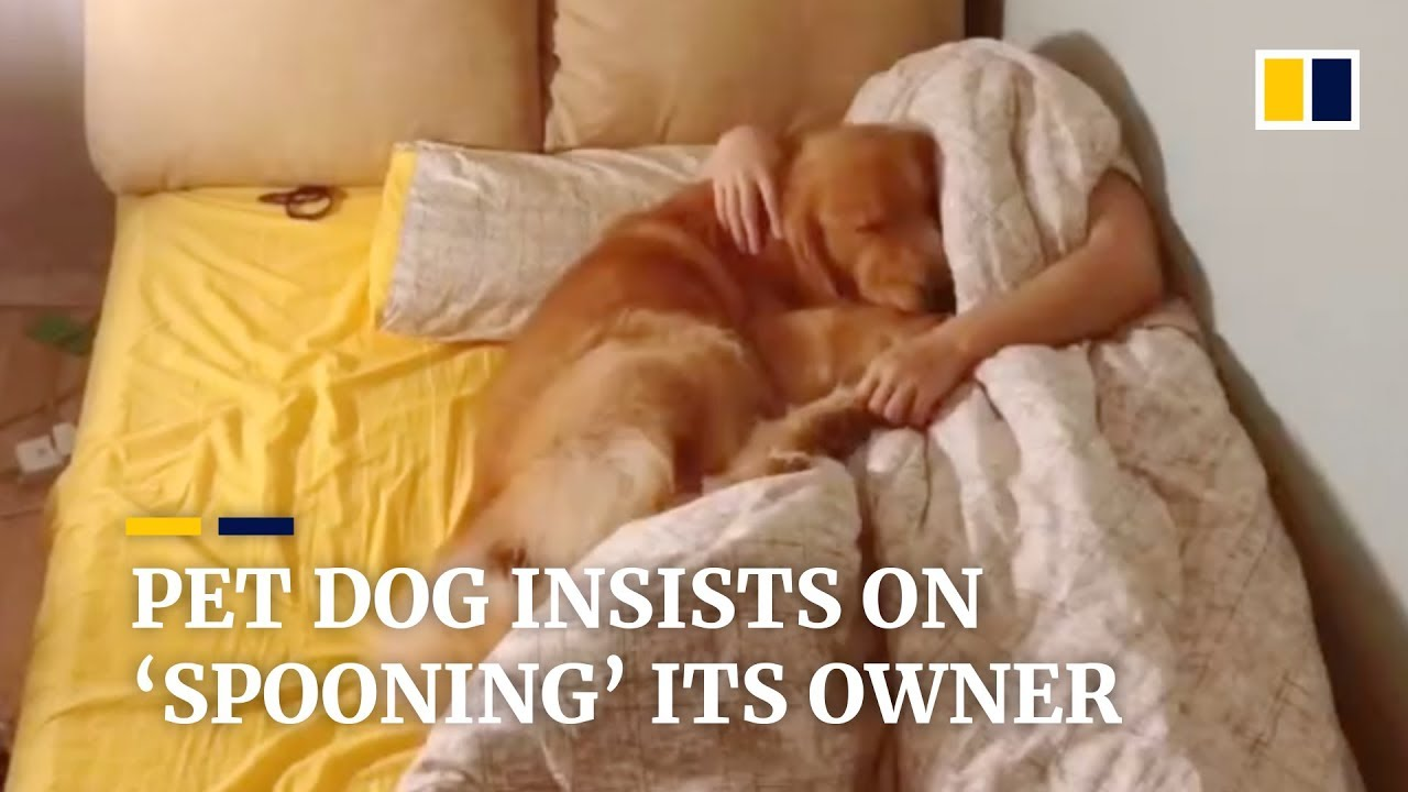 Pet golden retriever insists on 'spooning' its owner