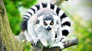 Funny Lemurs ★ Have Fun Like a Lemur (HD) [Funny Pets]