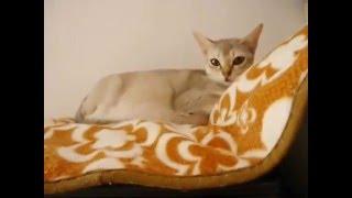 【アン・ファミリー】シンガプーラhttp://an-cat.com/ ゆゆ出産近いです...