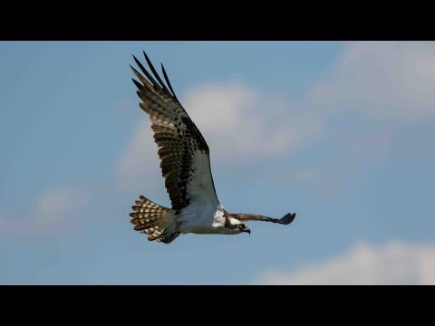New Jersey Osprey Project Q&A