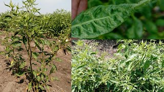 Leaf curl of chilli and Management//Jaivic Science