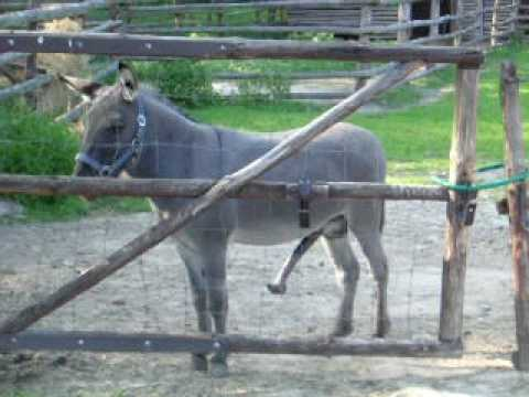 big dick donkey