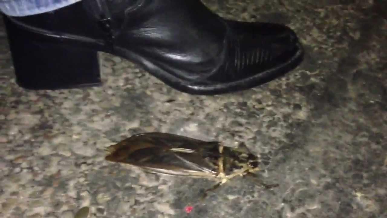 worlds largest cockroach santa cruz bolivia youtube