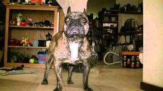 French Bulldog Strange Behavior And Breathing Difficulty